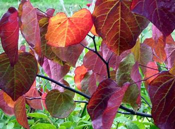 red-heart-shaped-leaf