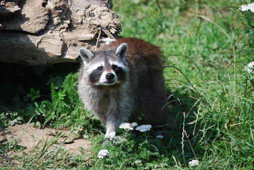 raccoon-1000383__340